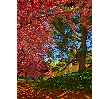 Cherry Blossoms in the Shade Photographic Print