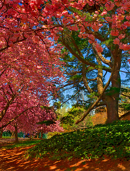 Cherry Blossoms in the Shade by Rick Gold