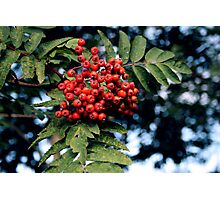 Rowen tree Photographic Print