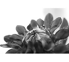 Black and white flower ready to open  Photographic Print
