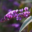 Hardenbergia by Peter Krause