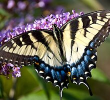 Tiger Swallowtail by Yvonne Roberts