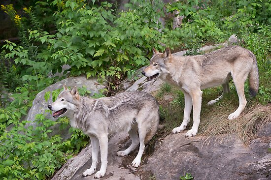 Timberwolf pair by Daniel  Parent