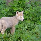 Arctic wolf pup  by Daniel  Parent