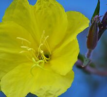 Evening Primrose by scenebyawoman