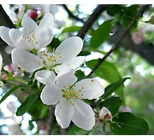 Crabapple - Spring Blooming Photographic Print