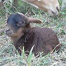 Little Black Lamb by louisegreen