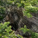 Shy Porcupine by Sally Winter