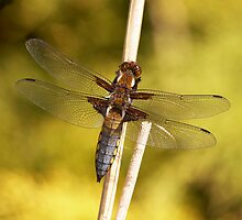 Broad bodied chaser by anniek1947