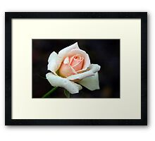 Peach of a Rose Framed Print