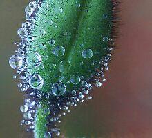 Poppy Pod by Barb Leopold