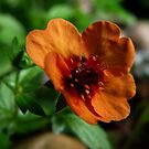 Orange Petals by AngelaFoster