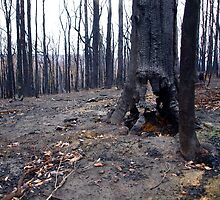 Mt Disappointment State Forest after the fires by Imagebydg