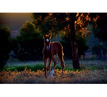 Evening foal Photographic Print