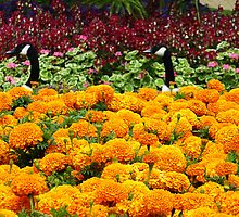 Having a Gander at the Marigolds. Park. London, England. by David Dutton