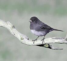 Artsey Junco by Lynda  McDonald