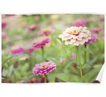 Zinnia patch Poster