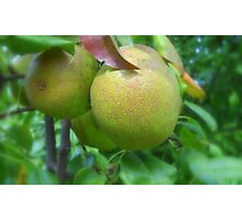 Pears in Ohio Photographic Print