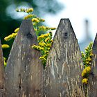 Weathered Fence Yellow Flowers by Ryan Conners