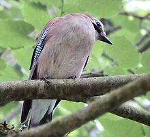 The Shy Jay by DEB VINCENT