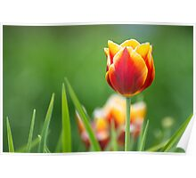The perfect Tulip Poster