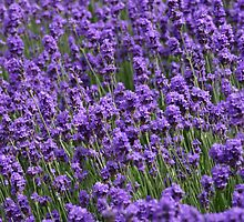 Field of lavender by Timothy Adams