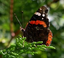 Red Admiral Butterfly (folded) by AnnDixon