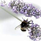 Bee on Purple Flowers......... by lynn carter