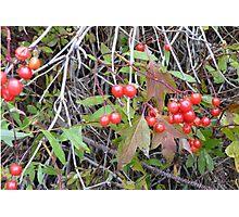Hi-Bush Cranberries Photographic Print