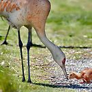 Sandhill Crane Feeds Her Five Day Old Baby by David Friederich