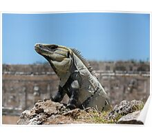Iguana, among the ancient stones of Uxmal, Mexico Poster