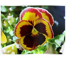 Colorful pansy Poster
