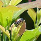 Japanese Beetle by Susan S. Kline