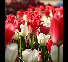 Spring Tulips by Dan Snyder