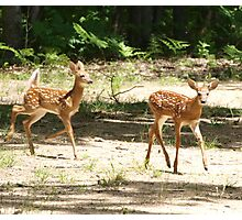 Fawns at Play 2 Photographic Print