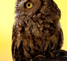 Whiskered Screech-owl by Micci Shannon