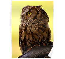 Whiskered Screech-owl Poster
