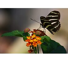 Zebra Longwing Butterfly Profile Photographic Print