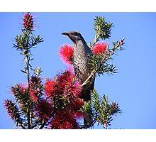 Wattle Bird.  Photographic Print