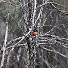 Scarlet Robin at Dryandra Woodland WA by Debbie  Widmer