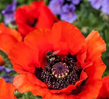 Bee on a poppy by chris smith