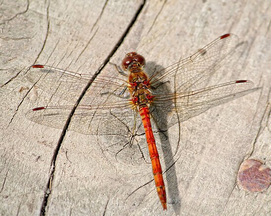 Dragon fly by Anthony Thomas