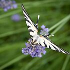 Machaon sur lavande by Laurent Aphecetche