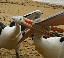 stop it. pelicans san remo phillip island by tim buckley | bodhiimages