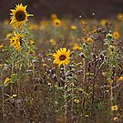 Meadow of Sunflower (Helianthus annuus)  by Elaine123