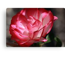 Wednesday rose. Canvas Print
