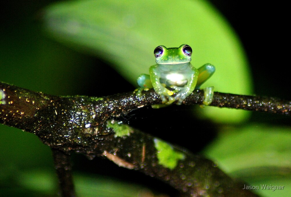 Lime-colored Glass Frog (Hyalinobatrachium pulveratum) - Costa Rica by Jason Weigner