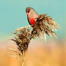 Common Waxbill by Peter  Braat