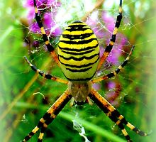 Wasp Spider Female by ©The Creative  Minds