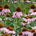 Her Majesty's Coneflowers (STATOU: CTheWorld) by ellismorleyphto